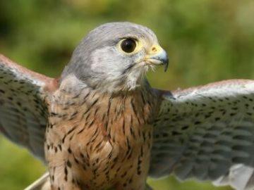 Falconry 5
